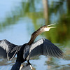 "Bob's ""pet"" Anhinga! [too cool]"