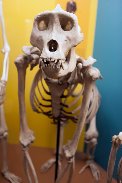 A monkey skeleton in the Smithsonian Natural History Museum. Digital, Washington, DC, March 2014. Ed
