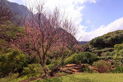 Maui Cherry Blossoms
