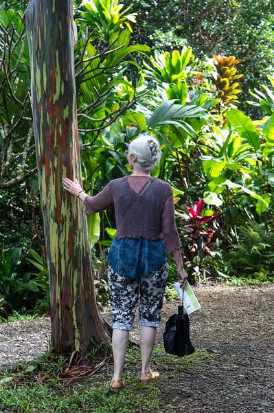 """Eucalyptus deglupta<br /> also known as rainbow eucalyptus, Mindanao gum, or rainbow gum<br /> <a href=""""https://en.wikipedia.org/wiki/Eucalyptus_deglupta"""">https://en.wikipedia.org/wiki/Eucalyptus_deglupta</a>"""