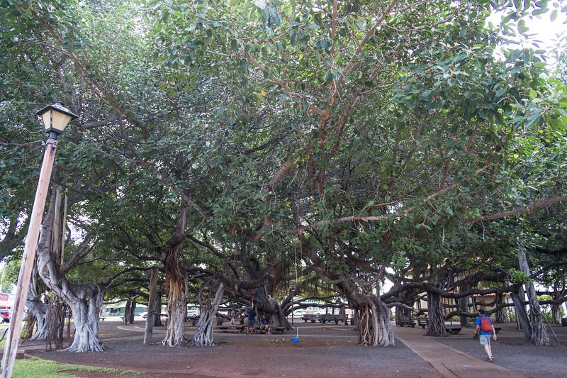 The Banyan Tree in Lahaina.