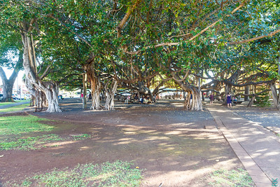 Banyan Tree at Lahaina