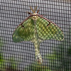 Luna Moth in the butterfly enclosure