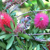 Nuttall or Ladder-backed Woodpecker