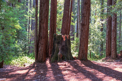 Old Growth Redwood stump surrounded by 100 year old new growth redwoods - Fern Creek Trail - Van Damme State Park