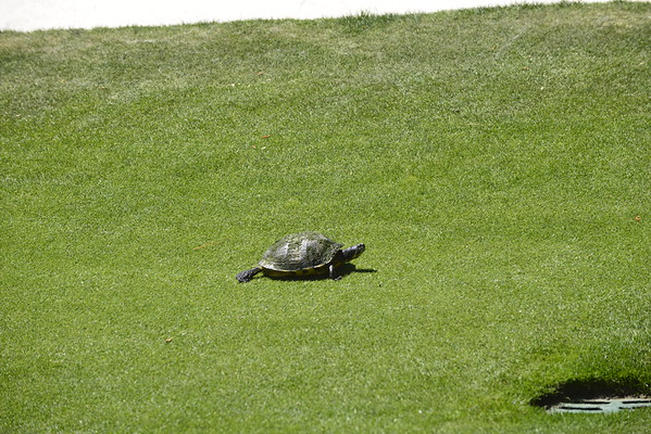 The turtle on 16th Green