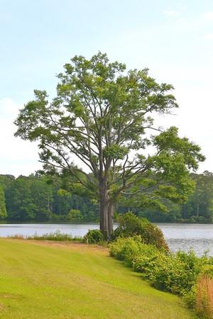 Tree at Callaway Gardens