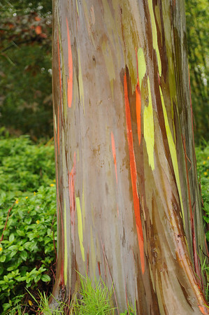 This is the trunk and bark of a Rainbow  Eucalyptus Tree in the Garden of Eden