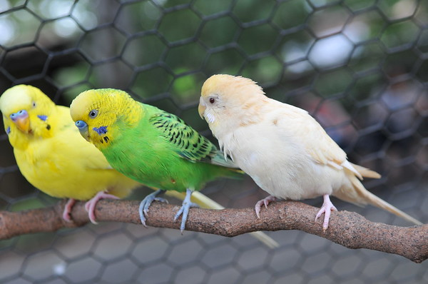 3 little parakeets sitting in a row