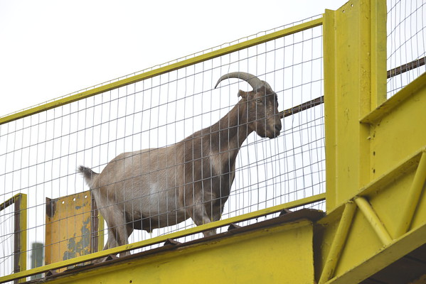 Goat on the Roof at goats on the roof