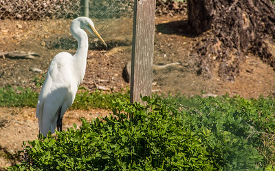 Egret picture taken through a wire fence