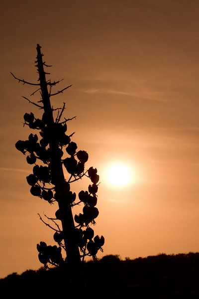Yucca plant silhouette
