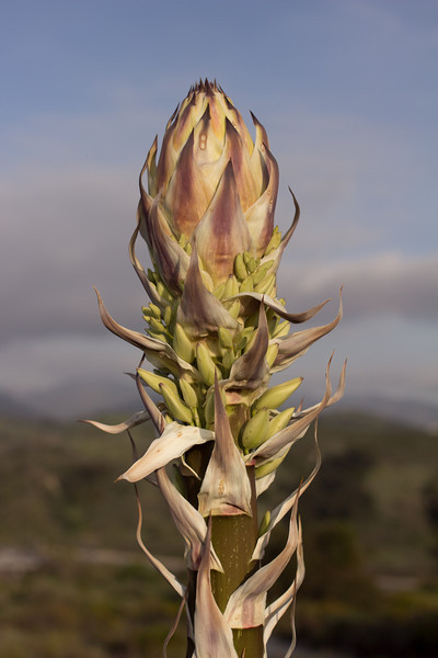 Yucca-sparagus