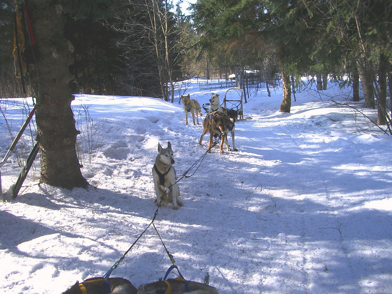 Dog sledding, March 2008.<br /> <br /> The team gets assembled.