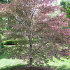 I always loved this tree.  It is a tricolor beech and I don't think I have ever seen another specimen.  Yes, the leaves are pink and green, those are not blossoms.