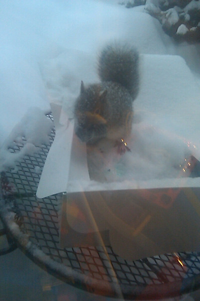Squirrel eating out of bday cake..