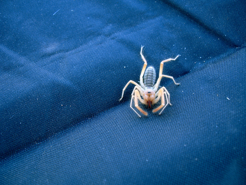 "We found a <a href=""http://www.royalbcmuseum.bc.ca/end_species/species/sunscor.html"" target=""_blank"">Sun Scorpion</a> (<em>Eremobates gladiolus</em> ) between our tent and the ground cloth. He was alive and well. We let him go his merry way after this photo."