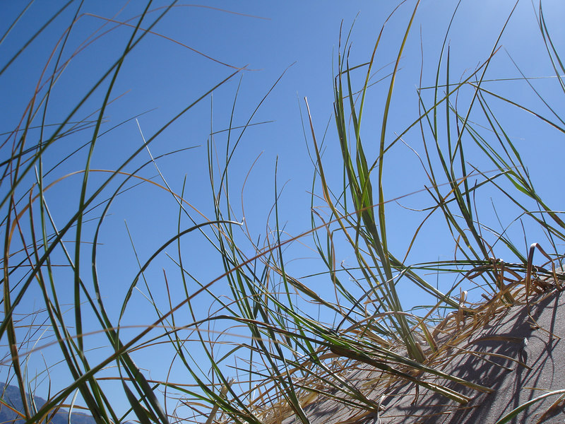 Grass on the Kelso Dunes