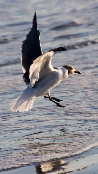 Seagull, Galveston Island State Park, February 2008
