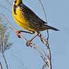 Meadowlark, Galveston Beach State Park, February, 2008