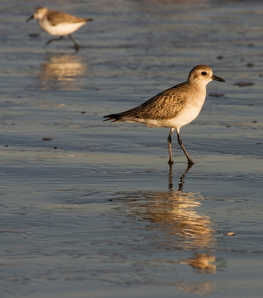 Shorebirds, Galveston Island State Park, February 2008
