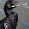 Neotropic Cormorant, Galveston, February 2008