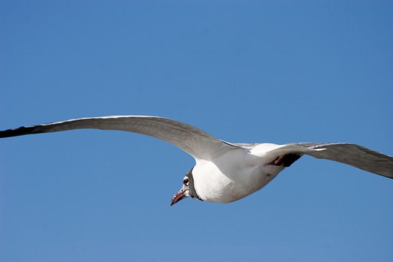 Laughing Gull, Galveston, February 2008