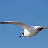 Laughing Gull, Galveston, February 2008