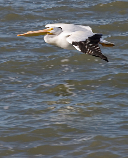 American White Pelican, Galveston, February 2008