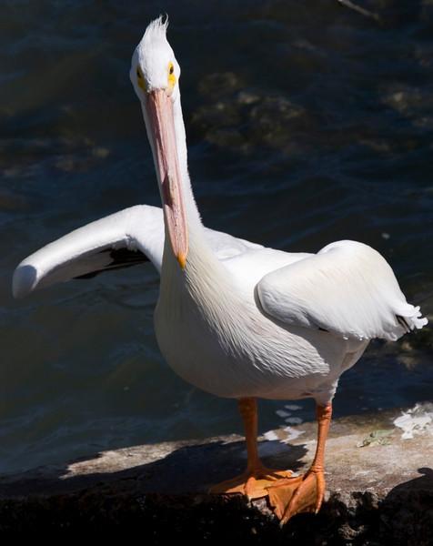 American White Pelican, Galveston, February 2008