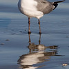 Laughing Gull, Galveston Island State Park, February 2008
