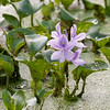 Water Hyacinth - an invasive, but pretty, species of plant that is taking over the bayou.