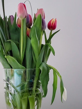 Mom's Mother's Day tulips. The white tulip wilted throughout the day; I think the flower sensed Mom's death.