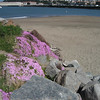A look at some nice pink flowers near the water at the wave organ in San Francisco.