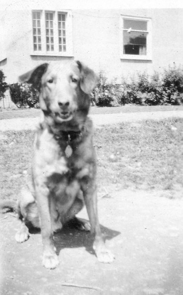 Finally, it was Don's three greatest passions that brought about his undoing. While accompanying the mailman on his rounds, Don stopped temporarily to chase a car that was barreling down the street. Though the driver, caught unawares, tried to swerve, he could not avoid hitting Don. His left hind leg was broken, and after setting it, the veterinary had to put it in a plaster cast. Surely less tasty than hot pastrami, the cast, nevertheless, a little at a time found its way into Don's stomach. It wasn't that he liked it; he hated it. It limited his activity, and he wanted to get rid of it. Nothing that any of us could do would stop Don's chewing at it, and eventually hardening in his stomach, it brought about his death.