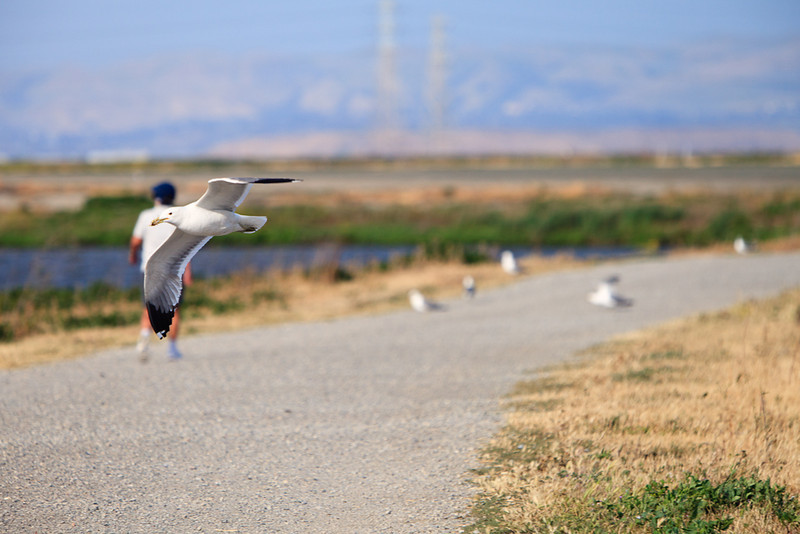 My camera was focused on mom, but the gull flew right in front of my lens. Servo-mode auto-focus works pretty well!