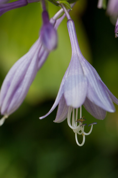 Hosta Blossoms