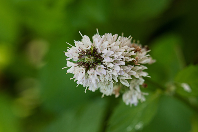 Mint Blossoms