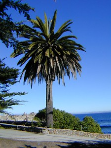 Palm tree in Monterey