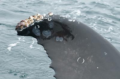 Close up of a humpback whale fin