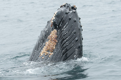 Humpback whale snout near our boat