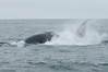 A humpback goofing around on the surface