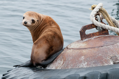 California Sea Lion hanging out on a buoy in the harbor