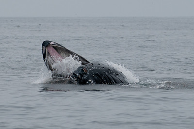 A humpback whale lunge feeding on krill at the surface
