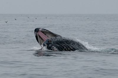 Lunge feeding on krill