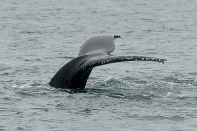 Humpback whale, flute up as it starts to dive