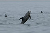 A few playful dolphins were regularly jumping out of the water - nobody seems to know why they do this