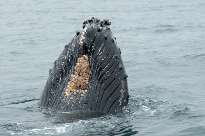 Lots of barnacles on the humpback's snout