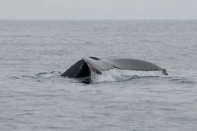 Humpback whale flute up as they dive for a deeper look for food