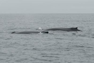A pair of humpbacks